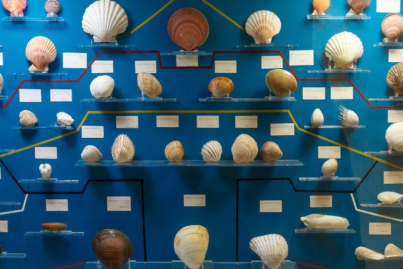 malta dogal tarih muzesi deniz kabugu vitrini