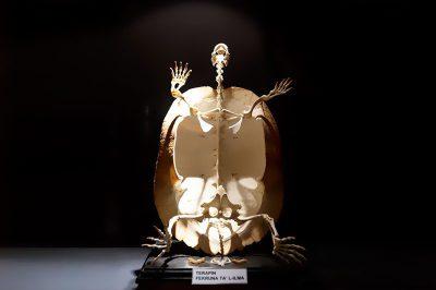 malta dogal tarih muzesi kaplumbaga iskeleti 400x266