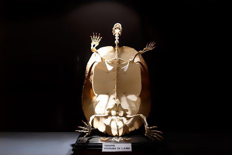 malta dogal tarih muzesi kaplumbaga iskeleti