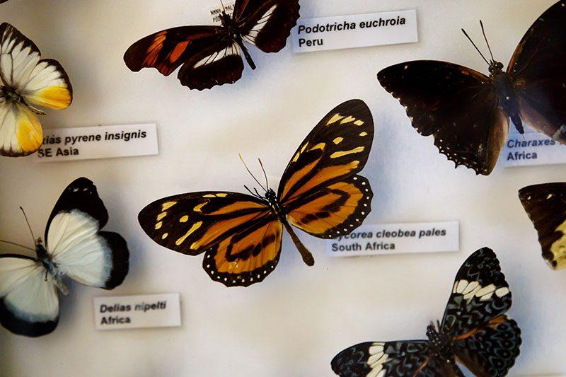 malta dogal tarih muzesi kelebek koleksiyonu