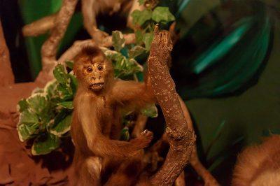malta dogal tarih muzesi maymun 400x266