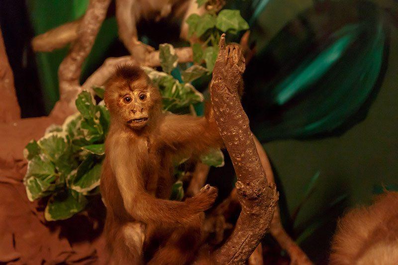 malta dogal tarih muzesi maymun
