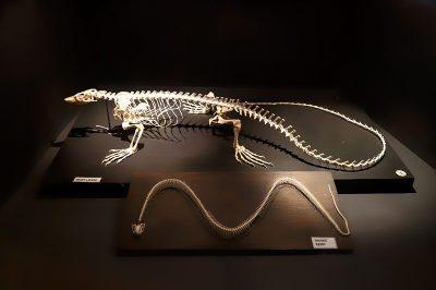 malta dogal tarih muzesi yilan iskeleti 400x266