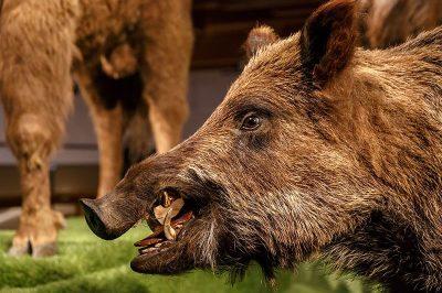prag ulusal muze domuz hayvani 400x266