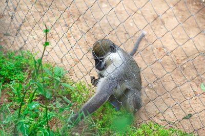 antalya hayvanat bahcesi maymun 400x266