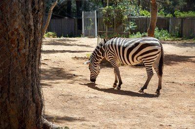 antalya hayvanat bahcesi zebra 400x266