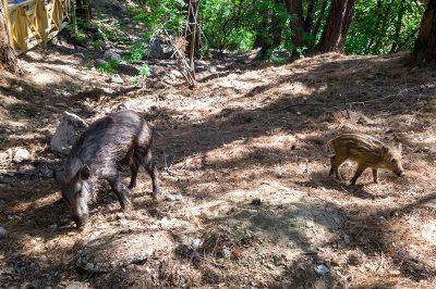 dilek yarimadasi milli parki domuzlar 400x266