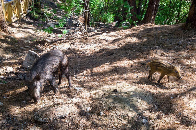 dilek yarimadasi milli parki domuzlar