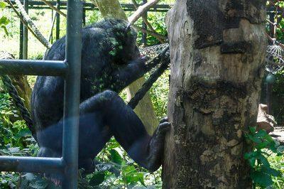 amsterdam artis hayvanat bahcesi goril 400x266