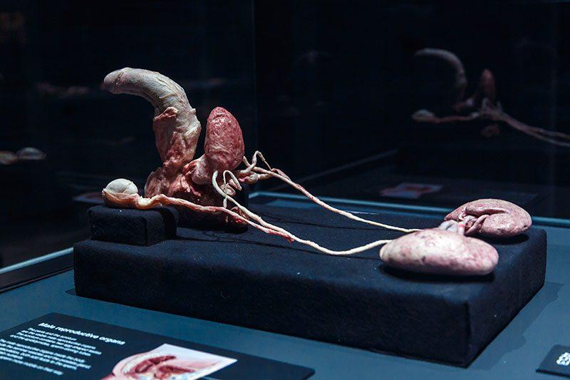 amsterdam body worlds ureme organlari