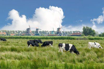 zaanse schans hollanda inekleri yel degirmenleri 400x266