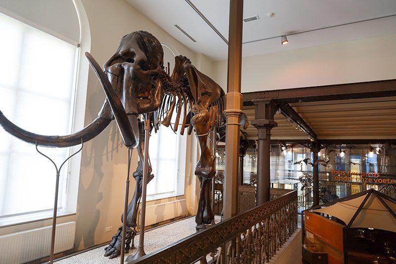 bruksel dogal tarih muzesi mamut iskeleti