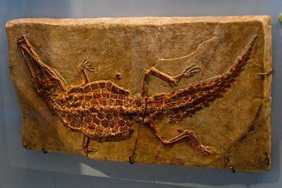 bruksel dogal tarih muzesi timsah fosili 400x266