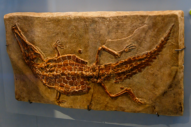 bruksel dogal tarih muzesi timsah fosili