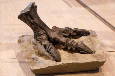 bruksel dogal tarih muzesi trex dinozor ayagi 400x266